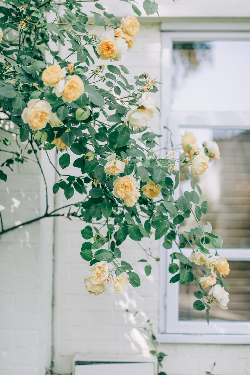 yellow roses and green leaves